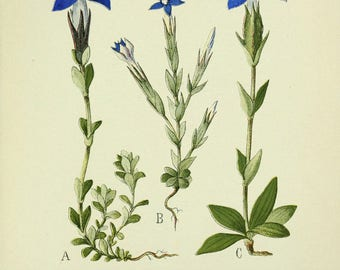 Gentian seeds to ship