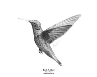 Hummingbird in Charcoal - Signed and Matted Giclée Fine Art Print of Original Drawing