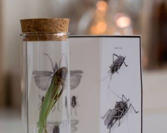Green Grasshopper Specimen