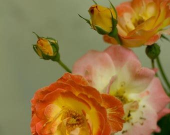 Grandmothers Roses
