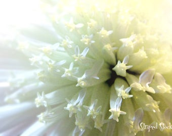 """Instant Download Dreamy White Flower 12""""x20"""" Photograph {#321}"""