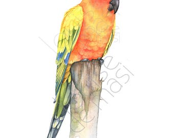 Sun Conure print of watercolor painting, SC22817, A4 size, sun conure watercolor painting print, parrot watercolor painting print