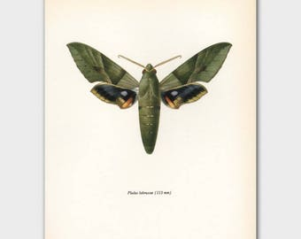 """Butterfly Art Print (Olive Green Butterfly Artwork, Vintage Egyptian Wall Decor) --- """"Gaudy Sphinx"""" No. 64-2"""