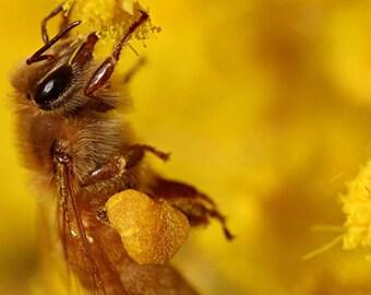 Seeds, Mimosa (EXTRA QUALITY) Acacia dealbata, Beekeeping, Bees
