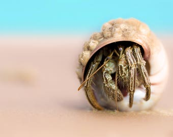 Hermit Crab Photograph, hermit crab shell beach house decor, sunrise shell, sea animal gifts, photograph, beach home decor, beach home gift