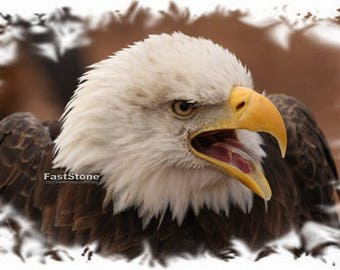 American bald eagle, eagles, photo, print, picture, bird, birds, wall art, home decor, nature photography, free shipping, wildlife, metal