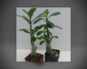 Desert rose plants, Free shipping,Two cute seedlings multi stem, caudex, well rooted Adenium, bonsai,  grown from fresh harvested seed