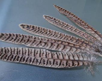 Rare set of 5 large wings of natural pheasant feathers