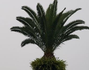 4 Live 1 Ft Tall Sago Palm - 2 Gal Pot - Free Shipping