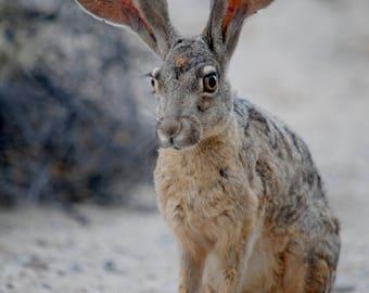Jack Rabbit - Stock Photography, Digital Download, Photograph, Nature