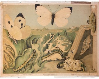 cabbage butterfly, educational chart , 1910