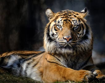 Siberian Tiger Staring Down the Viewer Photograph Print