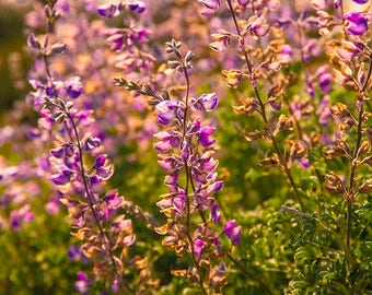 California Wildflowers: WALL ART Fine Art Photography Santa Cruz SoCal Landscape Natural Dramatic Bright  Color Violet Spring Wildflower