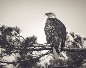 Piercing Gaze.    Eagle on pine branch wildlife photo.  Fine art picture. Black and White photography.  Home decor.