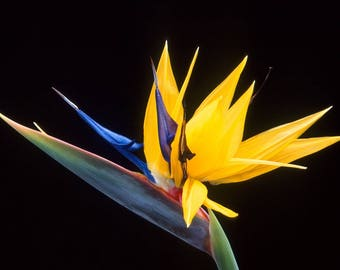 Strelitzia juncea (Bird of paradise) / 10 seeds
