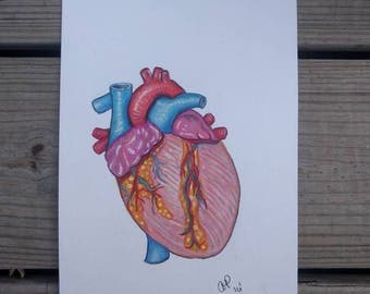 Human heart illustration in colored pencils