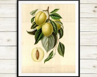 Golden Esperen plum print, plum tree botanical print, antique fruit print set, botanical poster art, botanical posters, vintage poster art