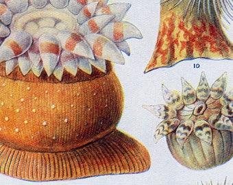 Set of Four Vintage Sea Anemone Charts