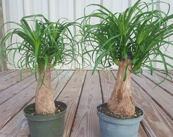 Baby Pony Tail Palm Tree Beaucarnea Recurvata Live Tropical Indoor House Plant Ourdoor/Indoor, Patio/Garden Plant