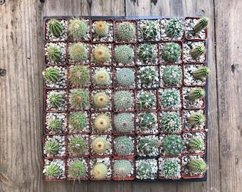 3 Inch Cacti
