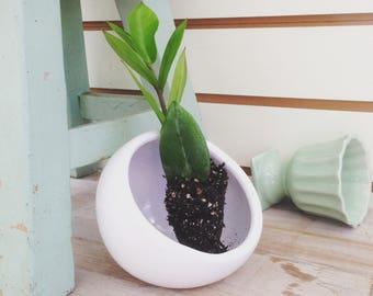 Zamioculcas Zamifolia (ZZ Plant) Start (1)