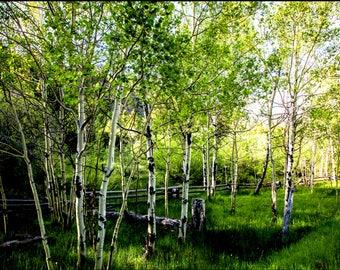 Aspen trees in the spring