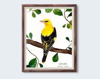 Wilga, Golden oriole (Oriolus oriolus) - illustration 18x24cm