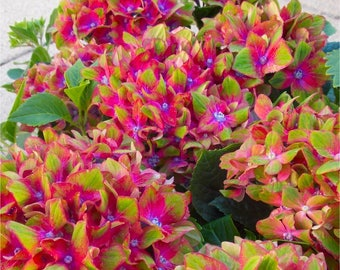 Hydrangea Glam Rock - Amazing Multi-Coloured Schloss Wackerbarth Hardy Hydrangea Shrub