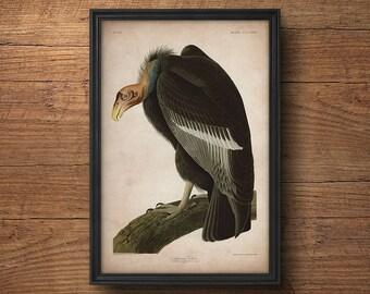 Audubon bird print, Vulture print, Antique bird print, Audubon print, Birds of America, John James Audubon, Wall art, Wall decor, Large art