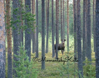 A Moose in Finland