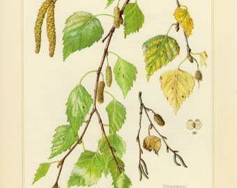 Vintage lithograph of silver birch or warty birch from 1958