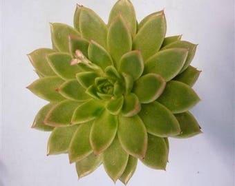Echeveria (succulents) Agavoides 10cm x QTY 16