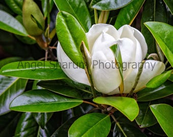 Magnolia Bloom Digital Photo-Digital Download-Photography-Magnolia Tree-Flower-Bloom-Photo