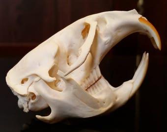 Muskrat Skull - ChippersTaxidermy
