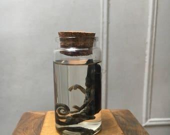 Chameleon Wet Specimen