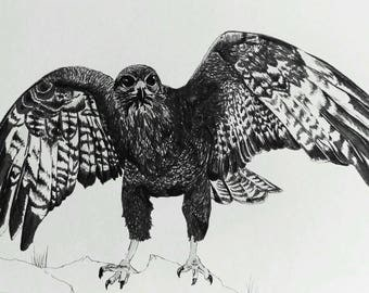 Buzzard original art print. Black and white pen and ink drawing of bird of prey.