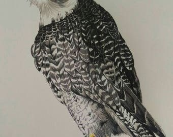 Peregrine falcon art print from original pen and ink drawing