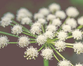 Montana Photography, Wildflowers, Lyall's Angelica Flowers, Nature Photography, Glacier National Park Photography, Wall Art, Wall Decor