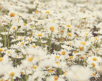 Montana Photography, Wildflowers, Field of White Daisies, Nature Photography, Flowers, Glacier National Park, Wall Art, Wall Decor, Fine Art