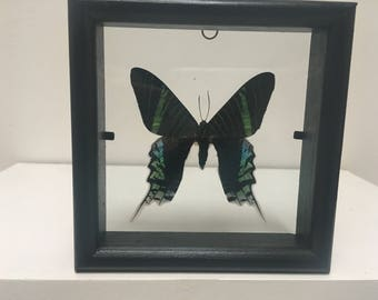 Green Banded Urania Leilus  Butterfly/Insect/Taxidermy