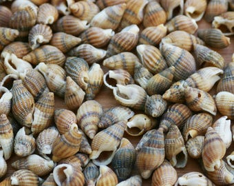 """Box of shells """"Whelks"""" dyed ocre Brown 175grs"""