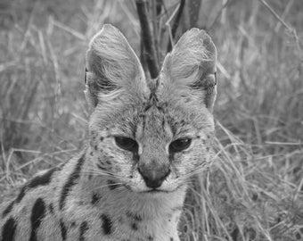 "Watchful Serval photograph big cat print digital download 5x7"""