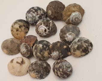 A3 - set of 14 shells approx 15 mm UN-drilled - ideal for any creation