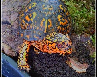 Box Turtle (photo)