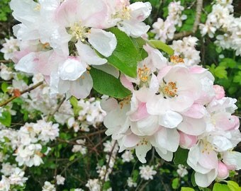 Apple Blossom Flower Art Print - Instant Digital Download