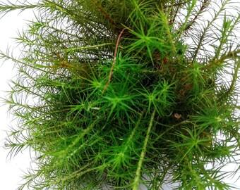 Live Moss - Terrarium Moss - Live Polytrichum - Miniature Garden - Hair Moss - Craft Moss - Live Natural Moss - Vivarium Moss - Haircap Moss