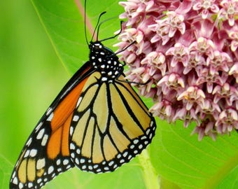 COMMON MILKWEED Asclepias Syriaca: The ONLY Plant That Monarch Caterpillars Eat! Bulk Seeds