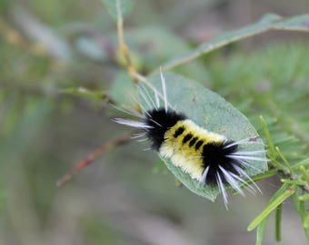 Nature Photography, Wall Art, Fuzzy Yellow Caterpillar, Digital Download, summer decor, cabin decor, mother's day gift, nature lover's gift