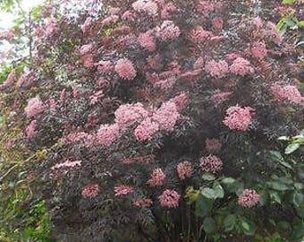 LIVE PLANT -- Sambucus nigra Black Lace - Fern Leaved Elder