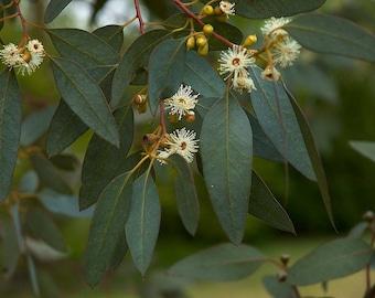LIVE PLANT -- Eucalyptus gunnii - Cider Gum, Shrub, Tree Plant in 9cm Pot
